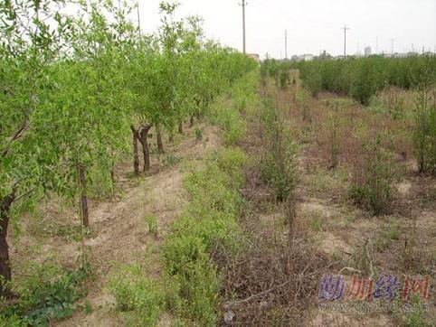 大量出售河北沧州一级枣树苗优质根生枣苗古枣树