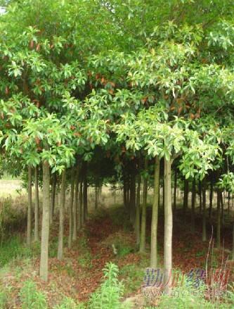 杜英又名山杜英.    常绿速生树种,材质好,适应性强,病虫害少.