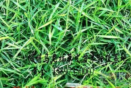湖北马尼拉草坪