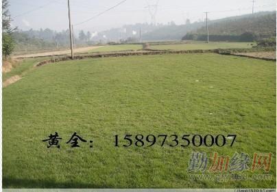 广东草皮-广东草坪价格-广东绿化草皮