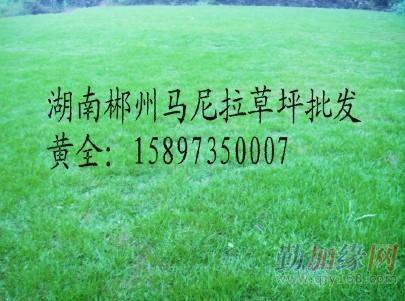 草皮/草皮价格/草坪基地