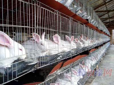 獭兔最新行情_供应种兔最新价格河南獭兔养殖基地肉兔行情