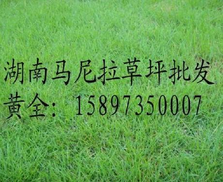 【江西草坪】【江西马尼拉草坪】
