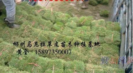 江西马尼拉草-江西草皮-江西马尼拉草皮