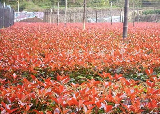 长沙红枫种植基地 长沙哪有大片的红枫风景带