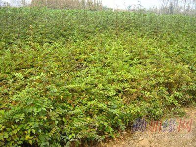 壁纸 成片种植 风景 植物 种植基地 桌面 400_299