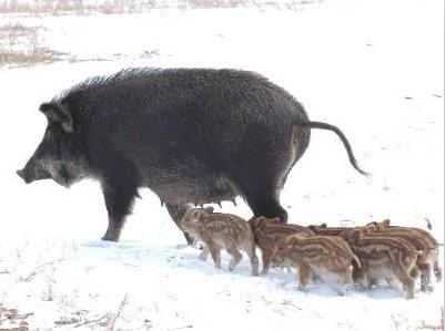 (现货直销)河北大型野猪养殖场