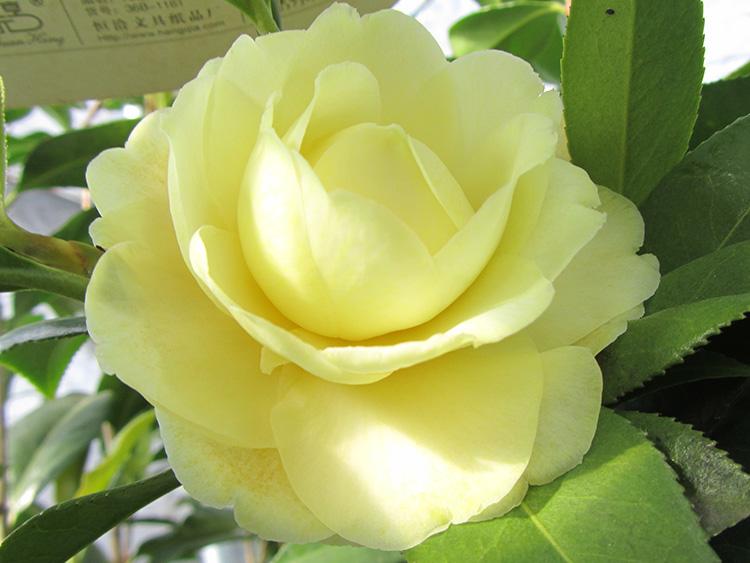 正黄旗,四季海棠,四季杜鹃茶,国宝金花茶,红叶贝拉,孔雀椿等名贵茶花