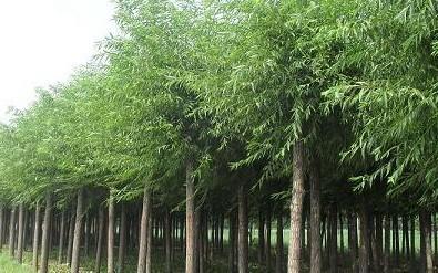 廣東風景樹一般是啥