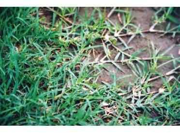 哪里有性爱种子_暖季型草坪草国产脱壳狗牙根种子 耐践踏 再生性强 生长迅速