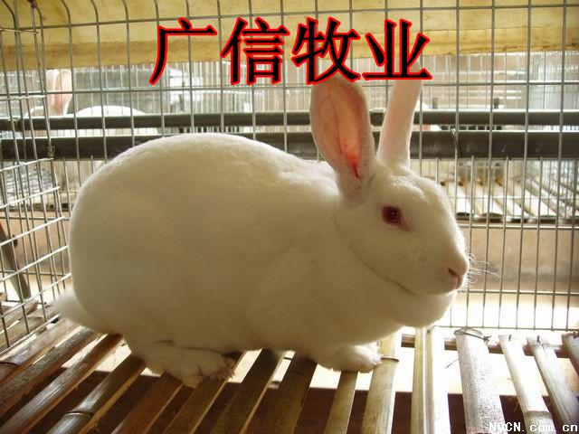 獭兔最新行情_养殖獭兔肉兔的市场行情 肉兔养殖效益如何?兔子价格