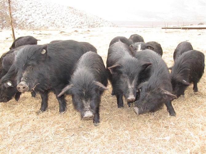 简笔画动物猪和西瓜