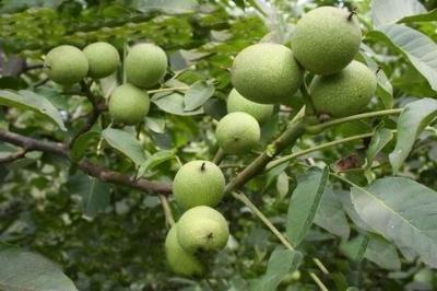 黑巴拉多葡萄苗,金手指葡萄苗,栽培美人指葡萄苗,维多利亚葡萄苗,红提