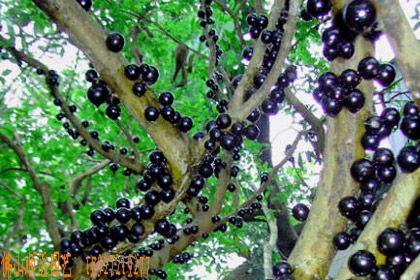 路边常见的风景树果实