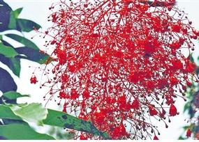 叶片宽大,开花时间为4-7月,花色艳红.图片