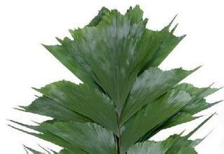海南嘉宇园艺长年提供富贵竹批发,巴西叶,龟背,莲花图片