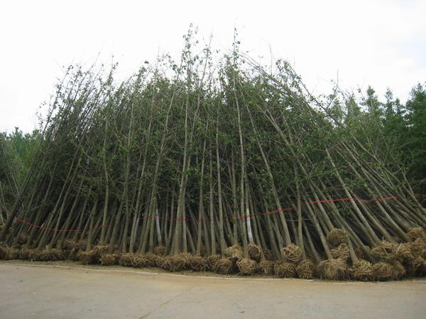 求购贵州3公分5公分12公分15公分20公分30公分银杏树