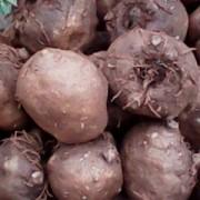魔芋种子_湖南平江县魔芋种子出售/魔芋种子基地/魔芋种子批发及
