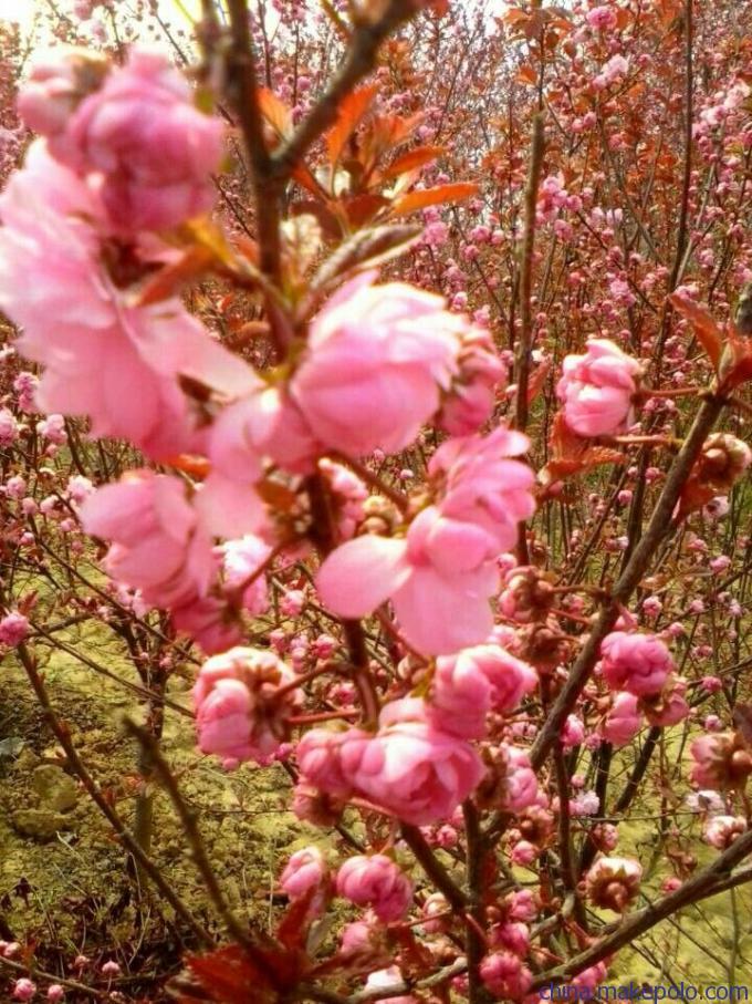 红叶榆叶梅,金叶榆叶梅扦插苗 嫁接苗