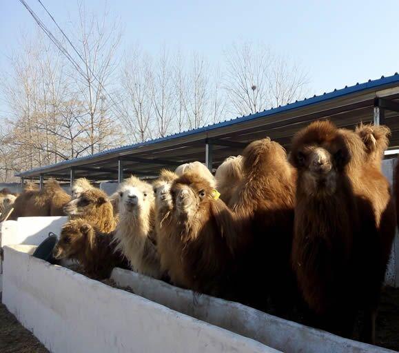 首页 农业分类 特种养殖动物 特种珍禽 > 吉林四平特禽养殖价格骆驼养