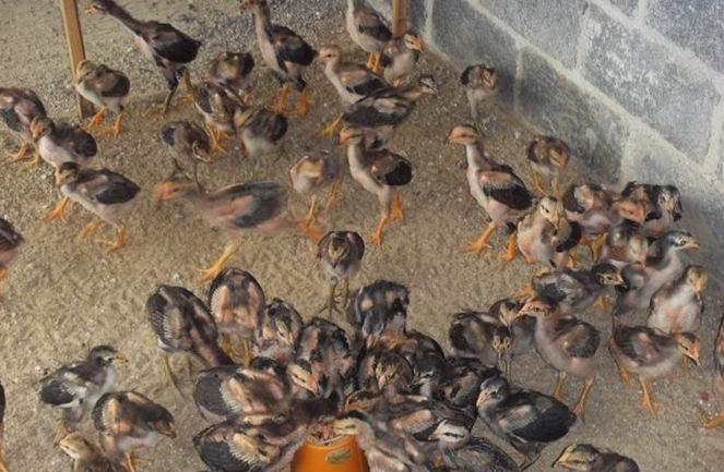 老周越南斗鸡养殖斗鸡比赛视频斗鸡苗供应商