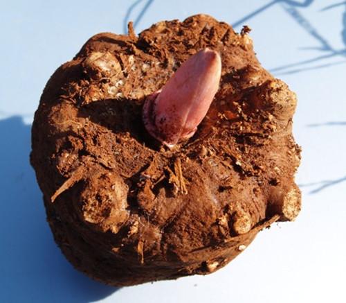 魔芋种子_湖北魔芋种子530克,湖北魔芋种子多少钱一吨