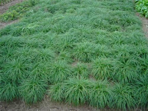 草亚洲色图_麦冬草色,麦冬价格,麦冬基地出售批发麦冬