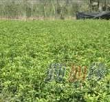 桂花之乡 扦插苗10-30公分金桂苗