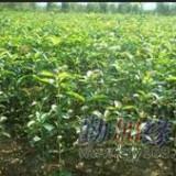 桂花之乡 扦插苗30-50公分金桂苗