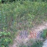 桂花之乡 扦插苗100-120公分金桂苗