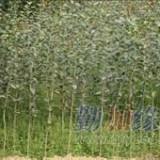 桂花之乡 扦插苗120-150公分金桂苗