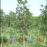 桂花之乡 树径2公分金桂苗