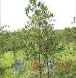 桂花之乡 树径3公分金桂苗