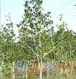 桂花之乡 树径4公分金桂苗