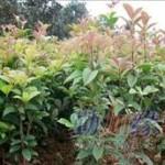 桂花之乡 扦插苗60-80公分丹桂苗