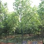 桂花树苗直径5公分金桂苗 低价批发