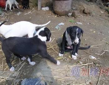 小狗 格力犬/格力犬小狗出售