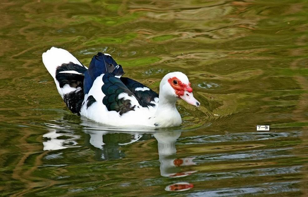 昆明假火鸭|昆明绿头野鸭,质量