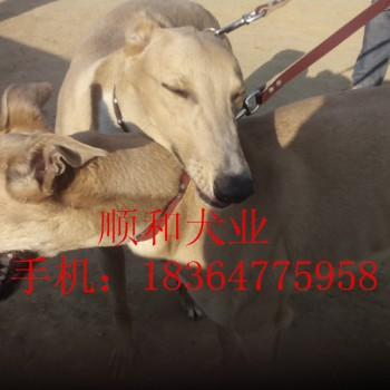 养殖/猎犬养殖格力犬养殖灵缇犬出售