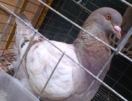 品种 观赏鸽/厂家直供观赏鸽 肉鸽广场鸽价格低 品种全欢迎选购