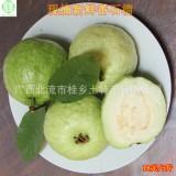 【新鲜水果】现摘新鲜水果番石榴台湾珍珠芭乐果5斤装20元试吃支持一件代发
