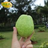 【新鲜水果】热带水果海南白心番石榴珍珠芭乐10斤装新鲜水果批发零售