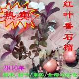【红心番石榴】红色番石榴果苗果树红心番石榴四季开花挂果果实清甜