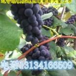 代办辽宁葡萄-北镇葡萄种植基地长期供应出售