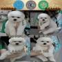 深圳市哪里有卖宠物狗的地方 深圳福田哪里有卖比熊犬价格多少