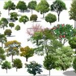 黑龙江哈尔滨江北圃地灌木大小叶黄槐