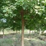 黑龙江哈尔滨江北山地阔叶乔木树种五角枫