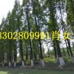 水杉基地批发水杉,水杉苗木价格,水杉工程苗