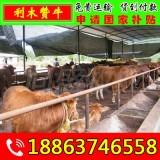 桂平黄牛养殖场