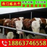 小牛养殖效益 含山县小牛多少钱一头